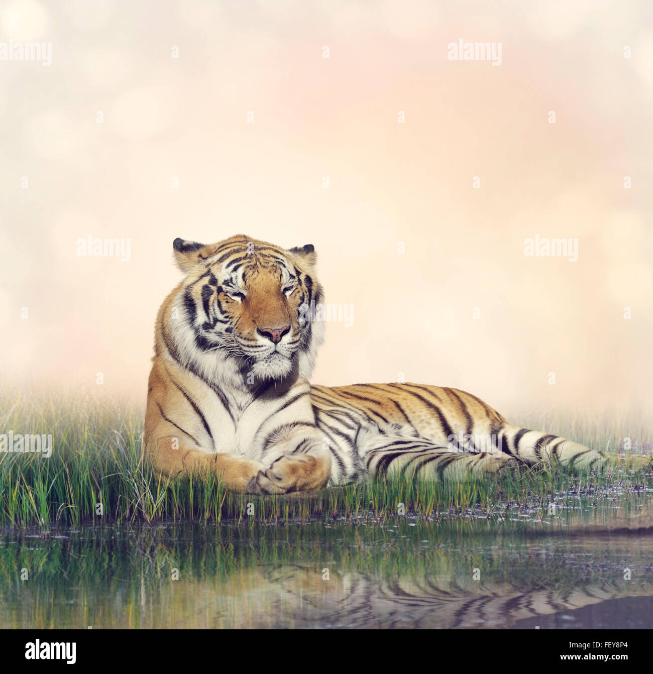 Tiger Resting Near a Pond - Stock Image