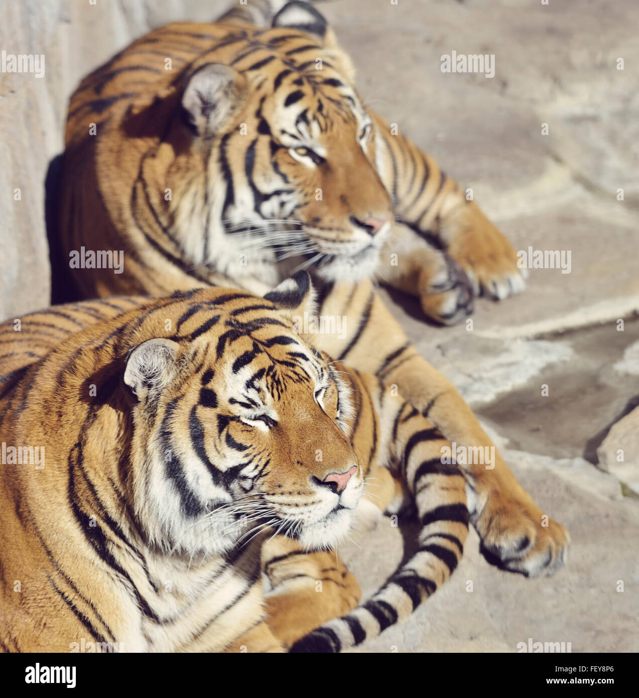 Two Resting Tigers on The Rocks - Stock Image
