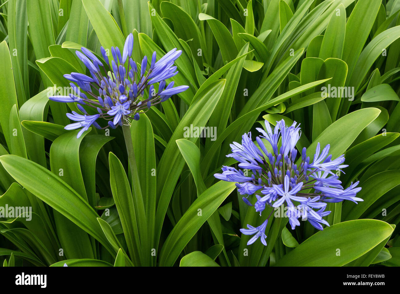 Lily of the Nile - Agapanthus flowers - Stock Image