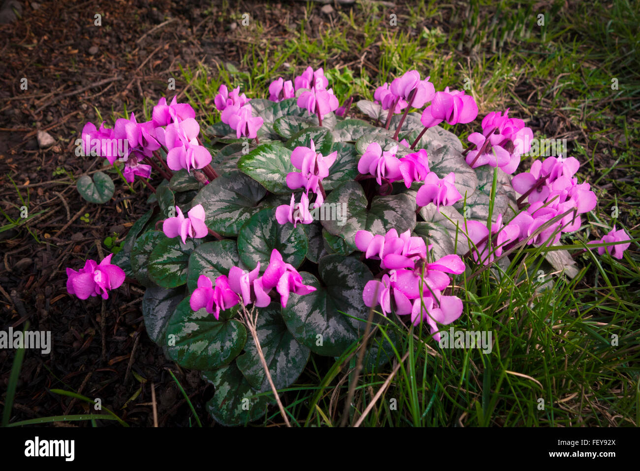 A nice clump of Cyclamen flowers - Stock Image