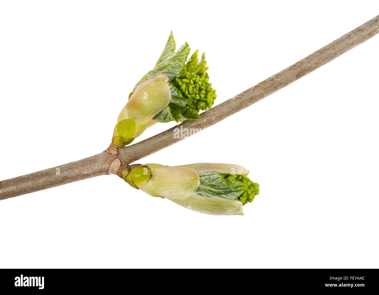 buds maple isolated on white - Stock Image