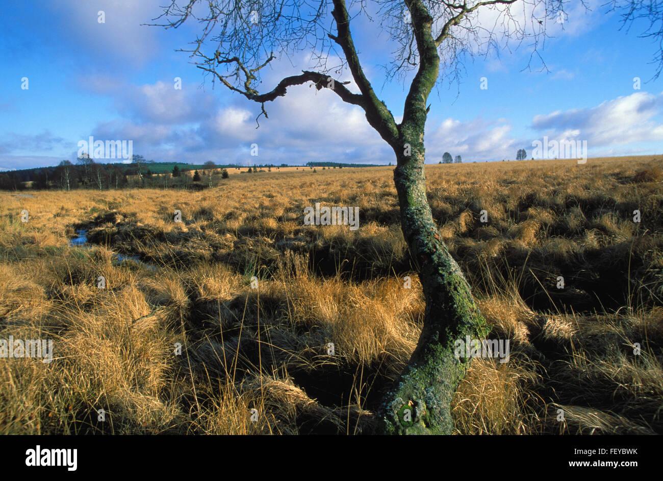BEL, Belgium, high-moor Hohes Venn, a moor birch on the plateau of the high-moor  BEL, Belgien, Hochmoor Hohes Venn, Stock Photo