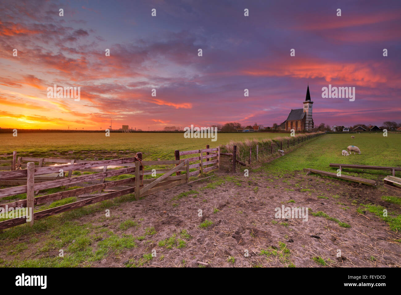 The church of Den Hoorn on the island of Texel in The Netherlands at sunrise. A field with sheep and little lambs - Stock Image