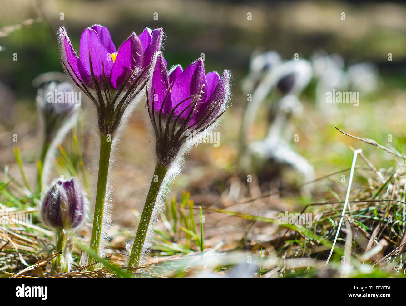 Bright Spring Flowers In A Forest Glade Backlit Stock Photo