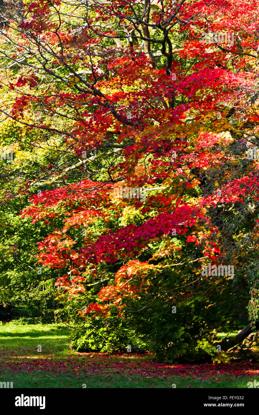 Japanese maple leaves (Acer) in autumn Stock Photo
