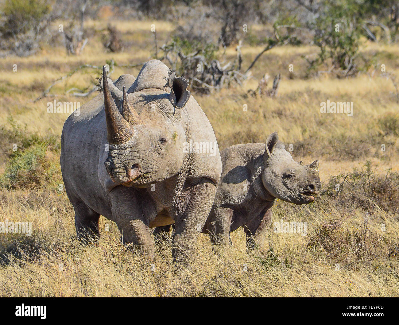 Black Rhino mother and calf - Stock Image