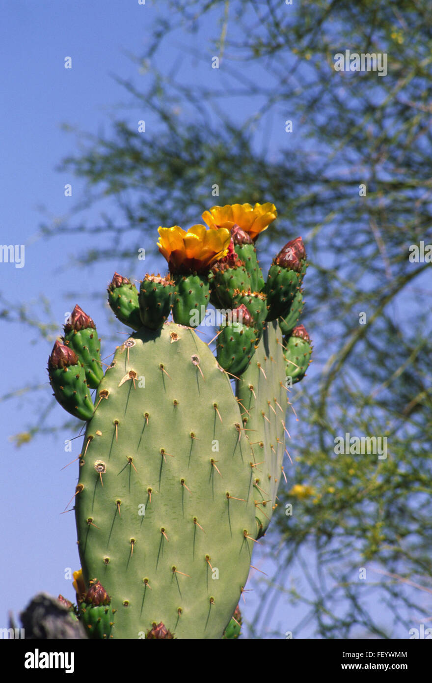 Flowering Prickly Pear Cactus    Opuntia - Stock Image