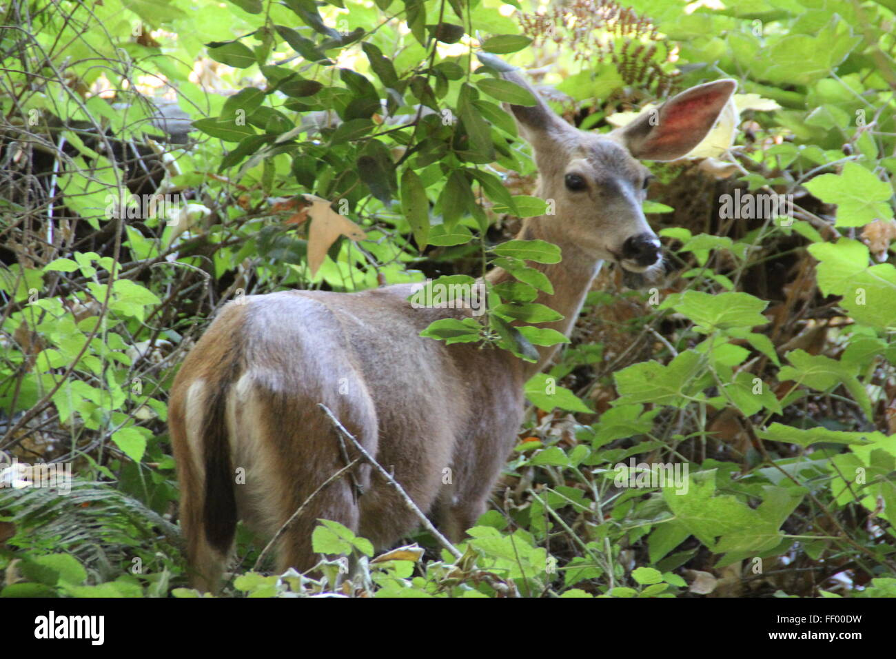 baby deer in the undergrowth Stock Photo