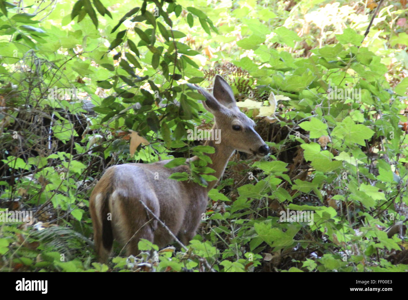 beby deer in the undergrowth Stock Photo