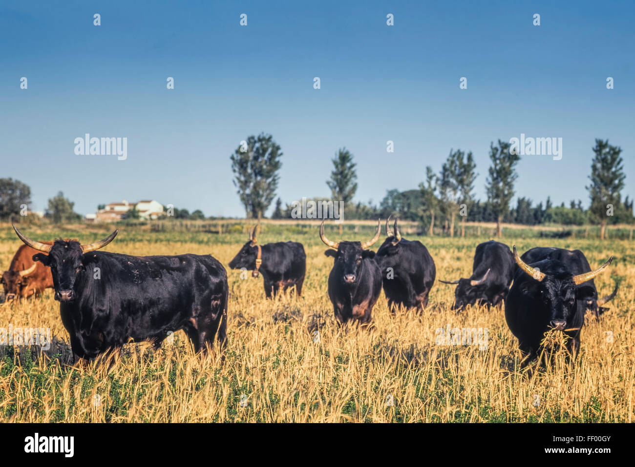 Bulls in Camargue, France, Europe - Stock Image