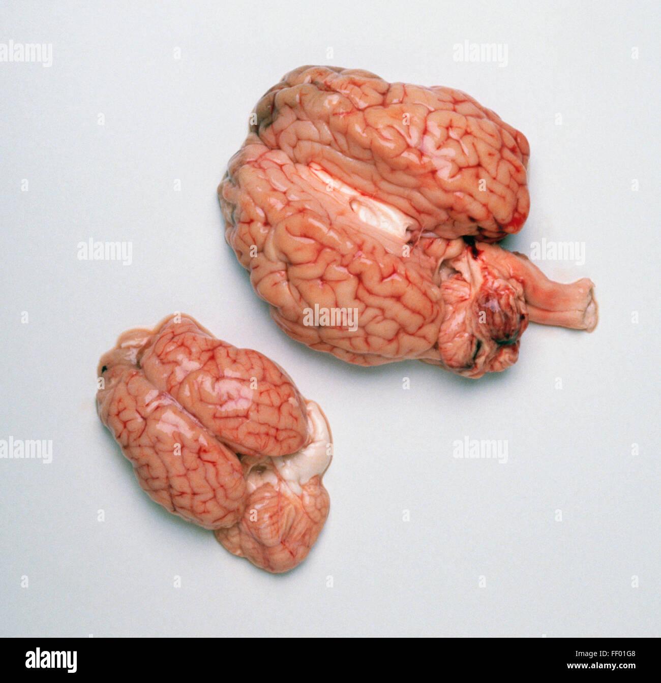 Calf Brain Stock Photos & Calf Brain Stock Images - Alamy