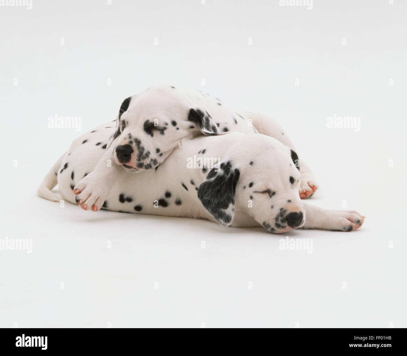 Two Dalmatian dogs, asleep, eyes closed, one resting on top of other. Stock Photo