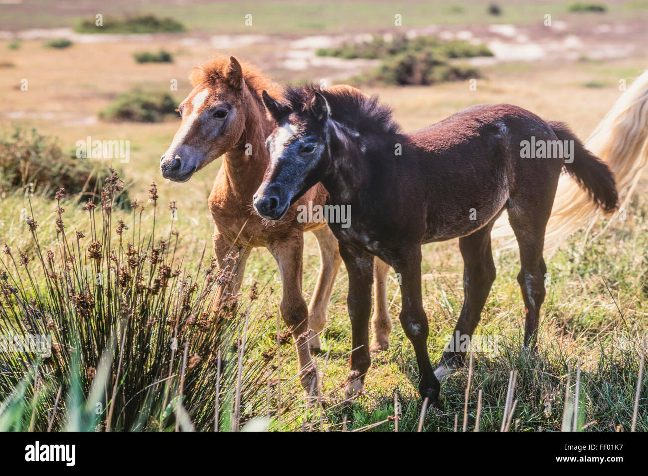 White Camargue Horses with foal, Camargue, France, - Stock Image