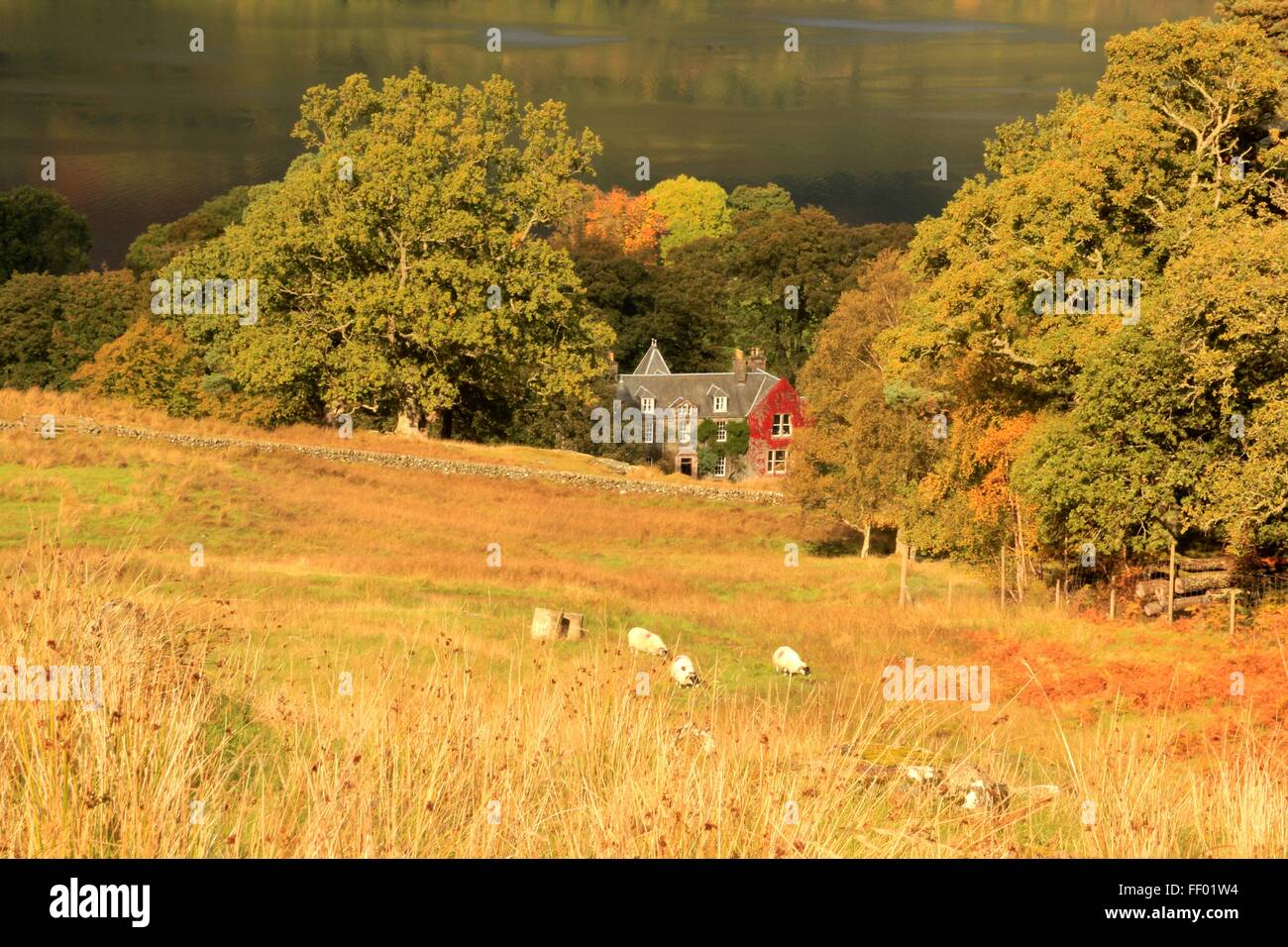 Sheep graze in front of a red ivy covered house in front of Loch Earn in the scottish highlands - Stock Image