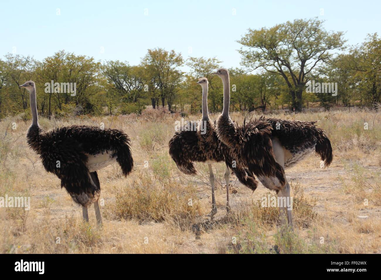 3 Ostriches stand fanning themselves in the African sun - Stock Image