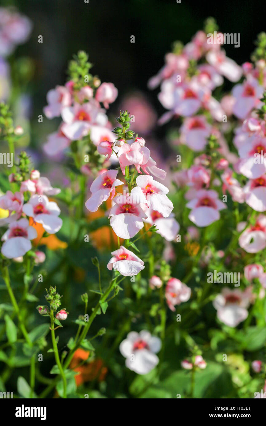 Diascia Common Name Twinspur Pink And White Flowers Stock Photo