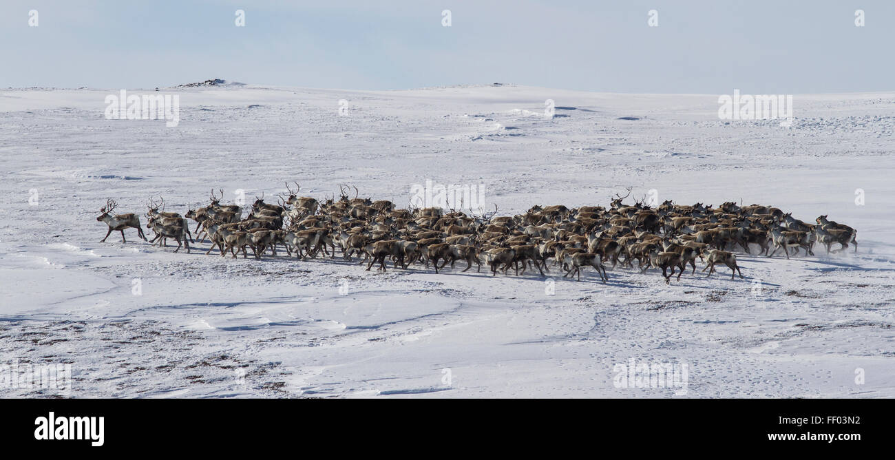Large herd of reindeer in the winter tundra Bering Island - Stock Image