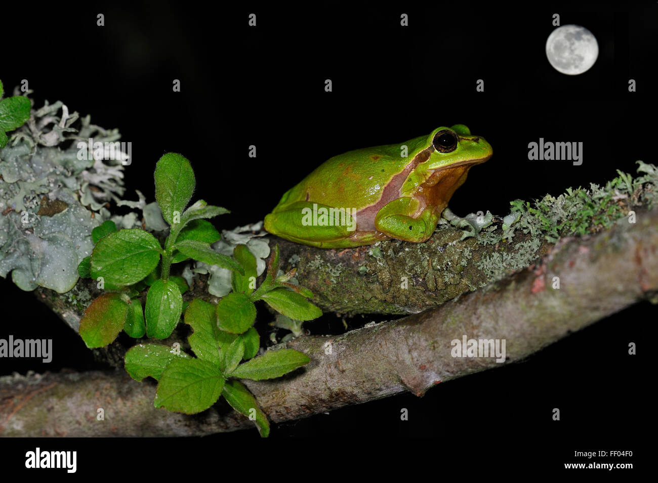 European / Common tree frog (Hyla arborea) sitting on branch covered in lichen at night with full moon Stock Photo