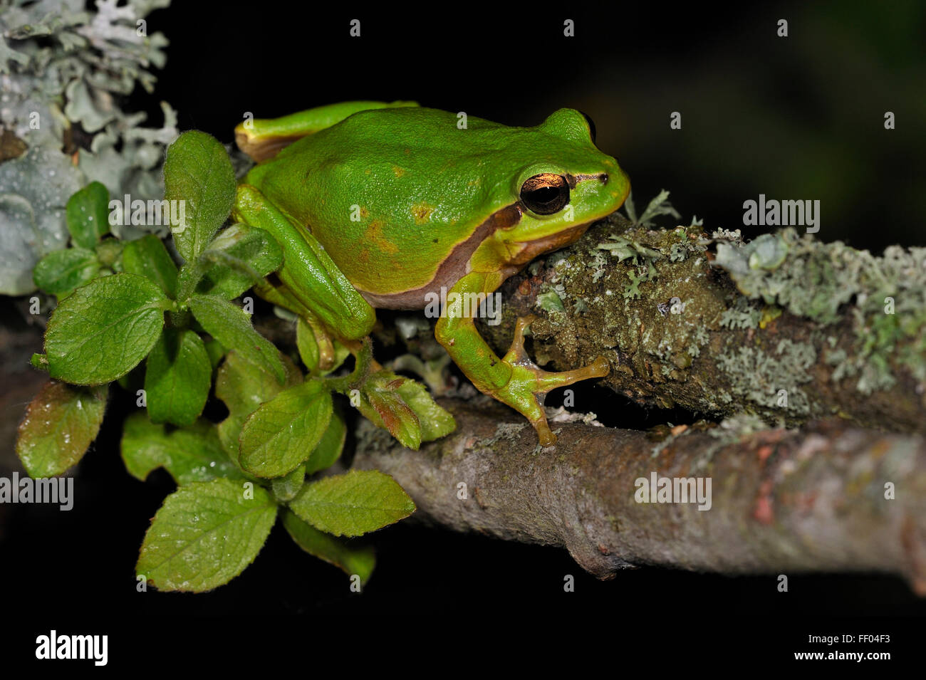 European / Common tree frog (Hyla arborea) sitting on branch covered in lichen at night Stock Photo
