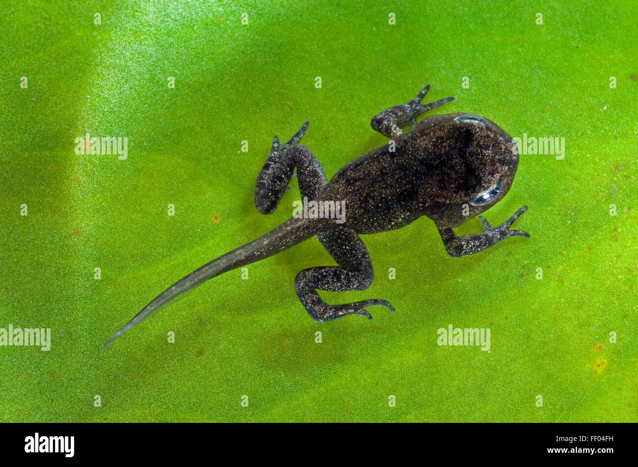Common Frog (Rana temporaria) froglet with limbs well developed but tail not started to be reabsorbed - Stock Image