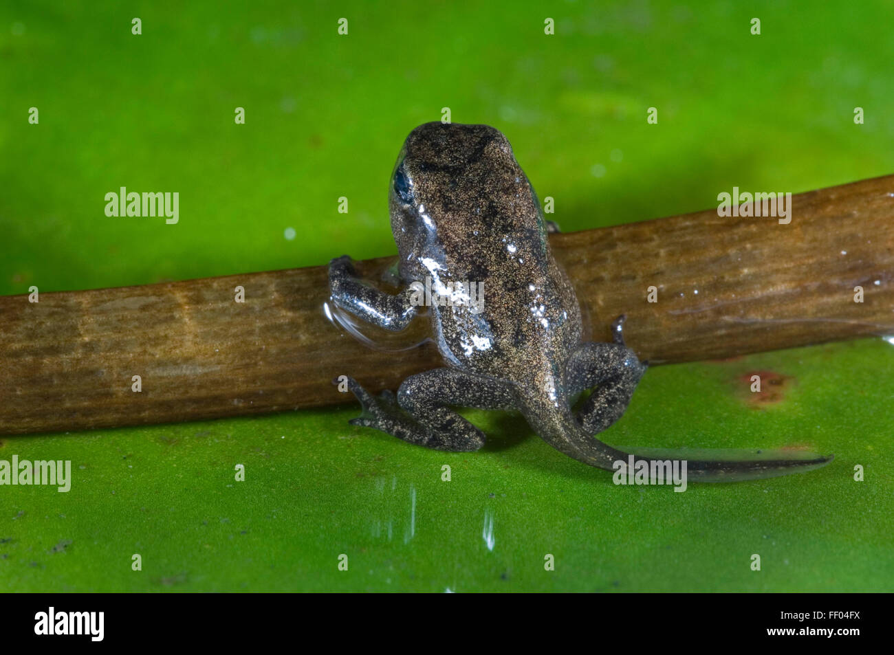 Common Frog (Rana temporaria) froglet with limbs well developed leaves the water - Stock Image