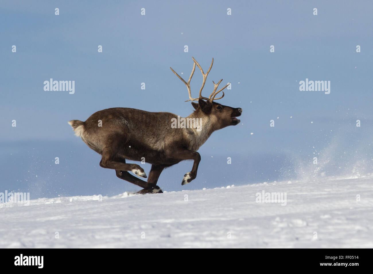 Reindeer which runs on snow-covered tundra Bering Island - Stock Image