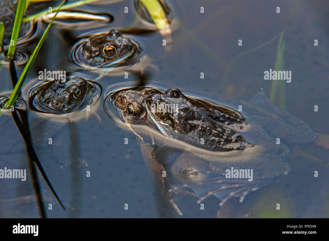 European common brown frogs (Rana temporaria) pair in amplexus floating in pond among frog spawn - Stock Image