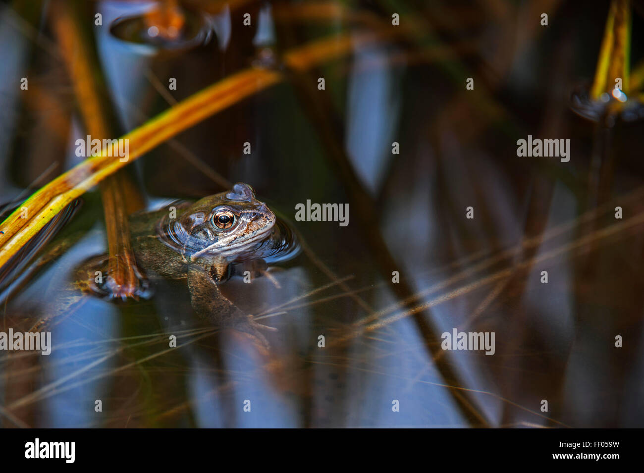 European common brown frog (Rana temporaria) floating in pond among frogspawn - Stock Image