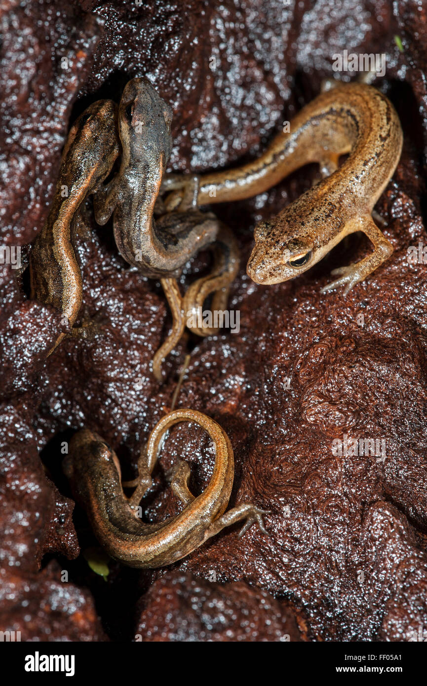 Adult and juvenile smooth newts / common newt (Lissotriton vulgaris) hibernating in crevices of moist rotten wood Stock Photo