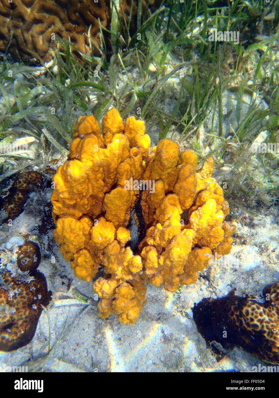 coral reef with great yellow sea sponge - Stock Image