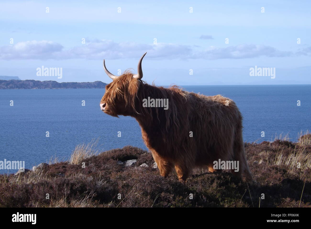 A Highland Cow near Applecross In the Highlands of Scotland. - Stock Image
