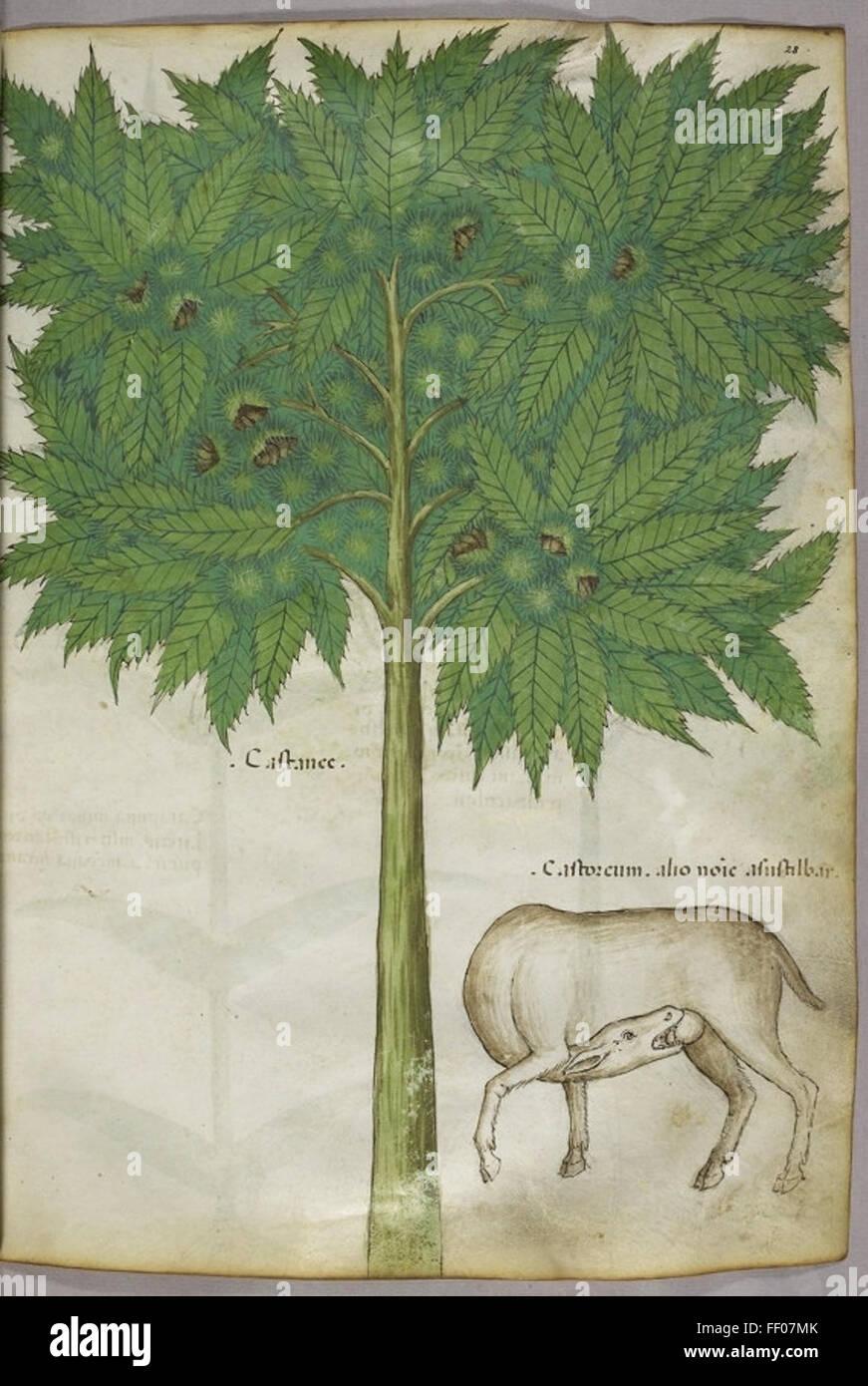 Illustration from Tractatus de Herbis Illustration from Tractatus de Herbis Stock Photo