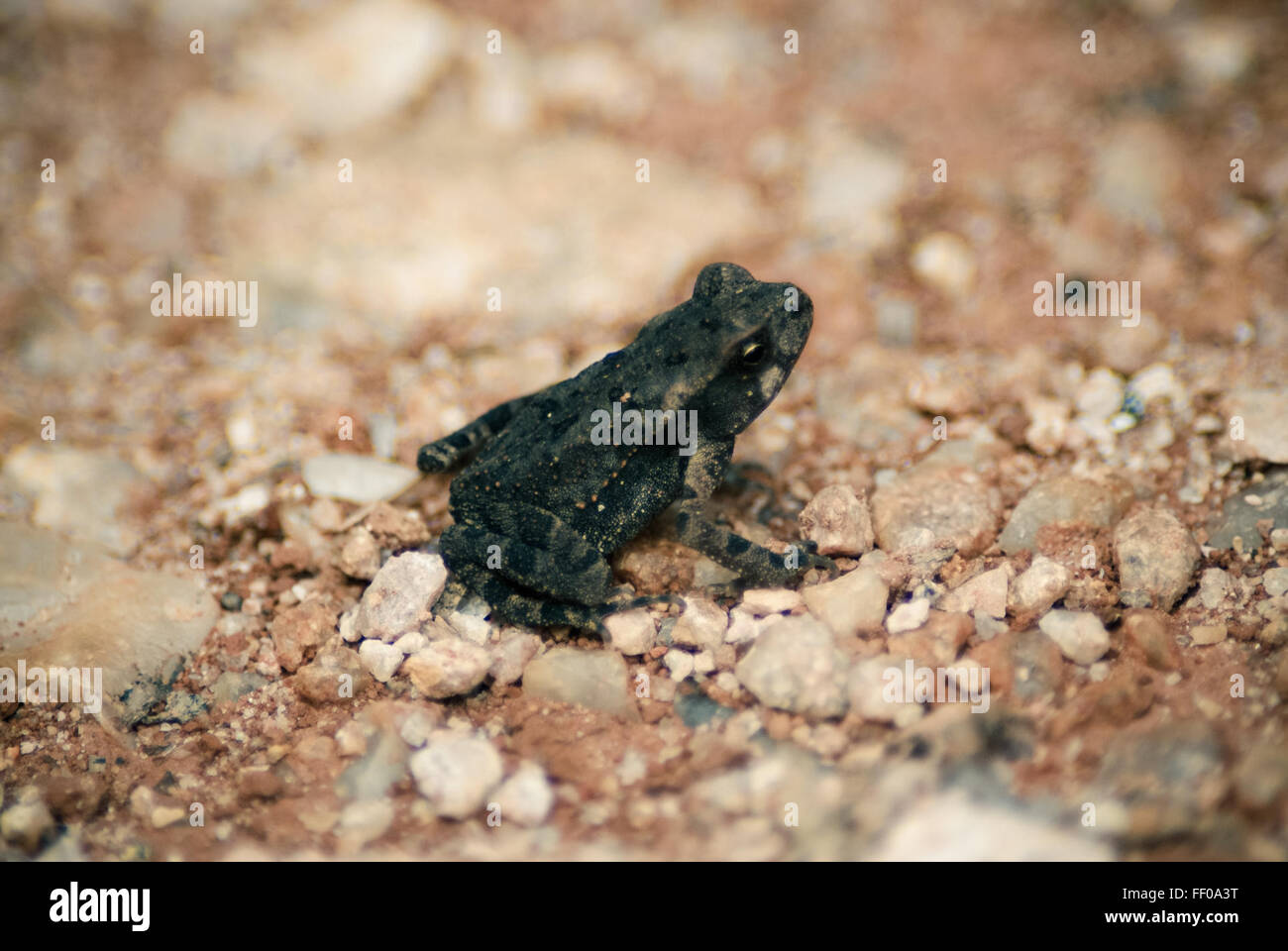 Anura Frog Herpetology Toad Zoology amphibian animal focus - Stock Image