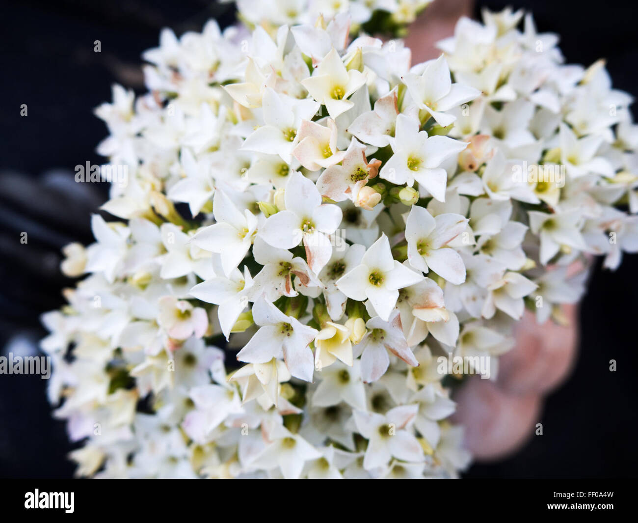 Bunch Of Small White Flowers Bunch Of Small White Flower Stock Photo