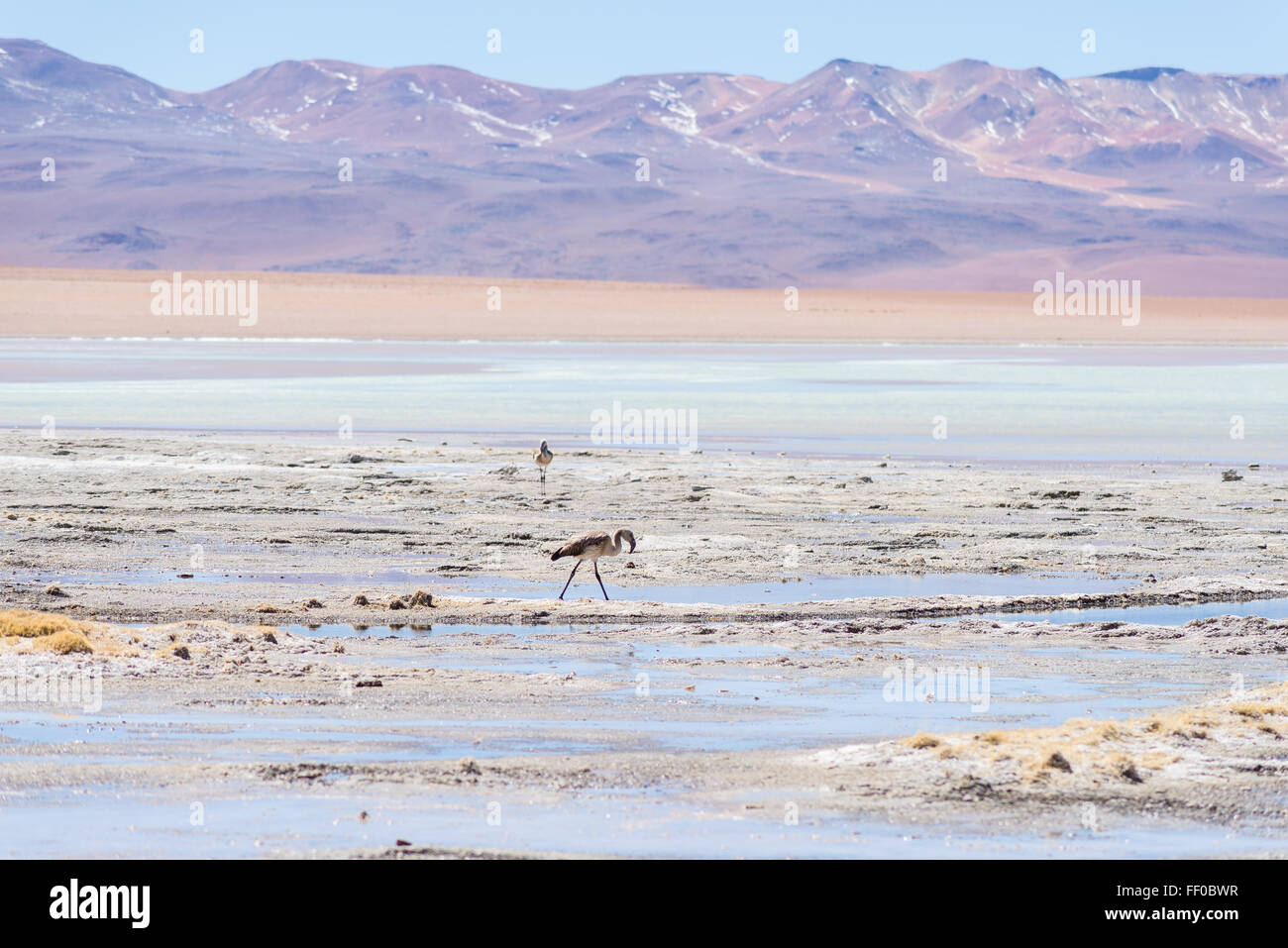 Flamingos in the colorful water of 'Aguas Termales' salt lake (transl. Thermal Water), among the most important - Stock Image