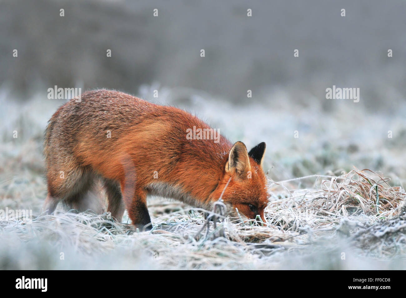 Red fox, searching for food on a frost covered field - Stock Image