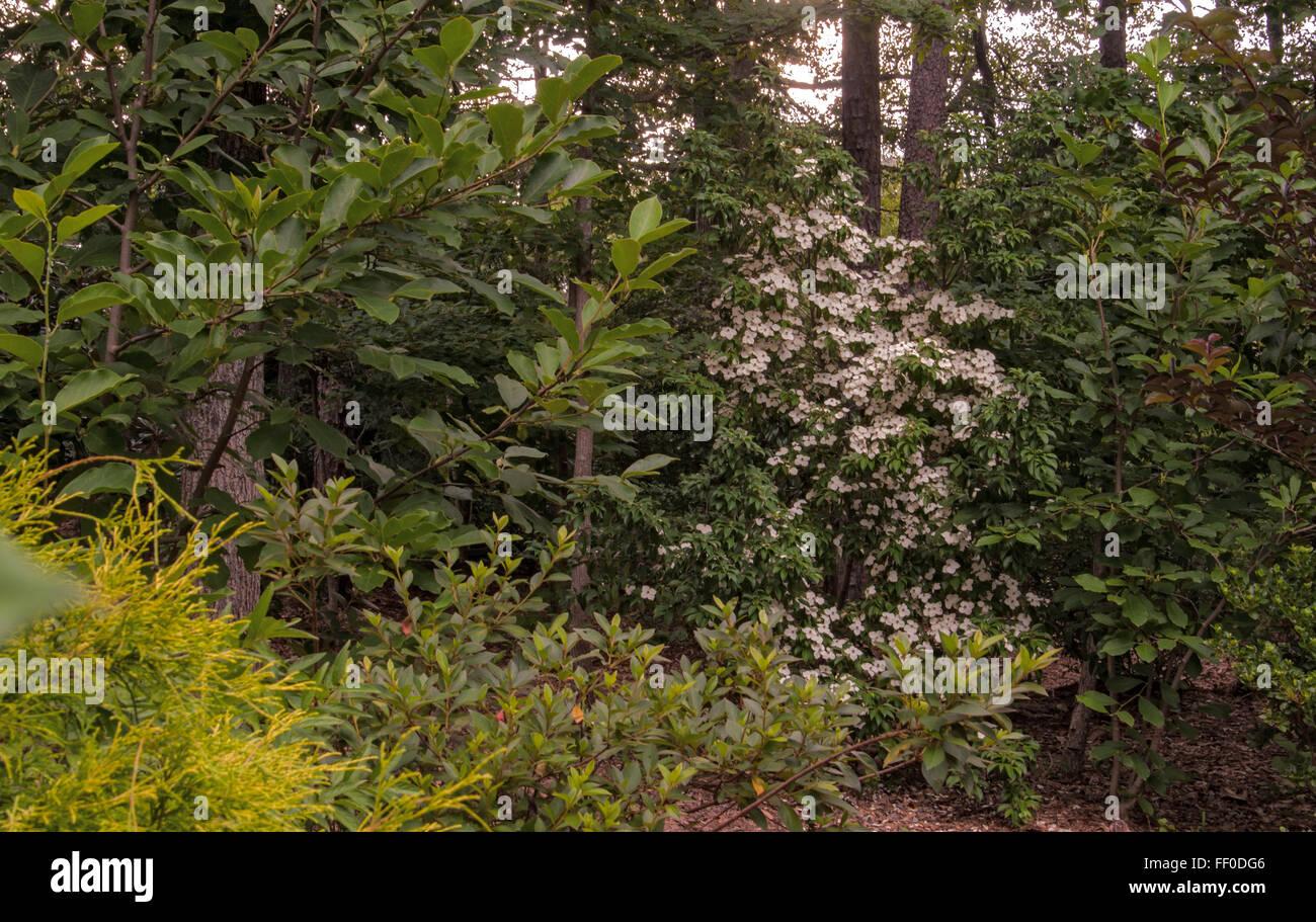 Cornus angustata EMPRESS OF CHINA Stock Photo: 95282326 - Alamy
