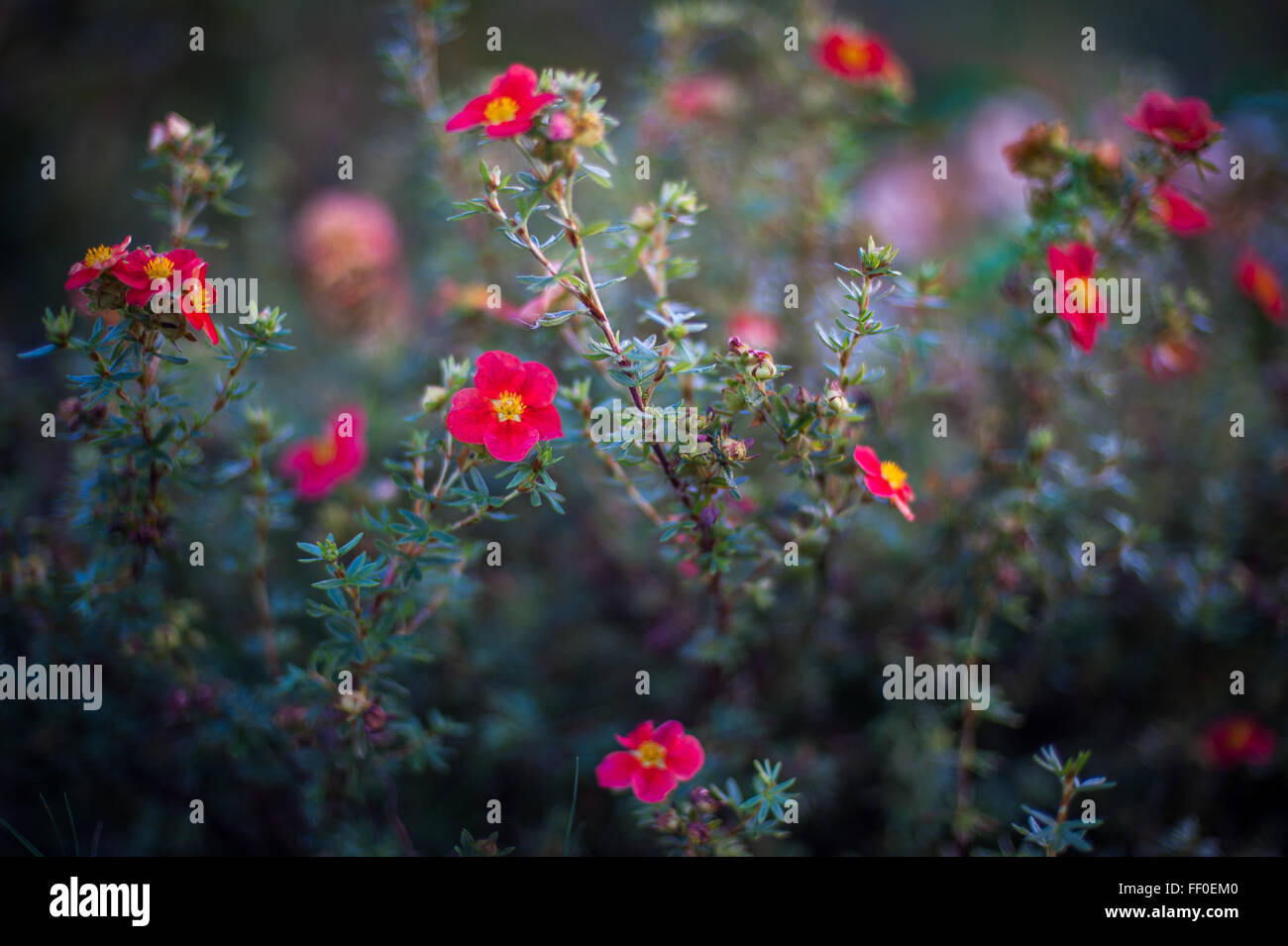 Dainty pink flowers in a London park, England - Stock Image