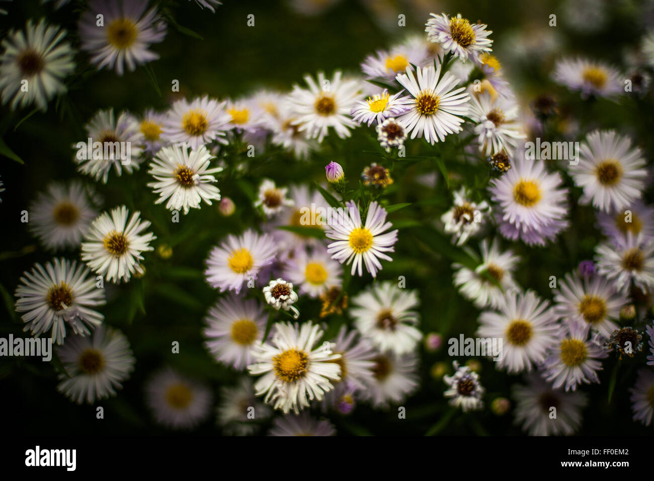 Dainty white flowers in a London park, England - Stock Image
