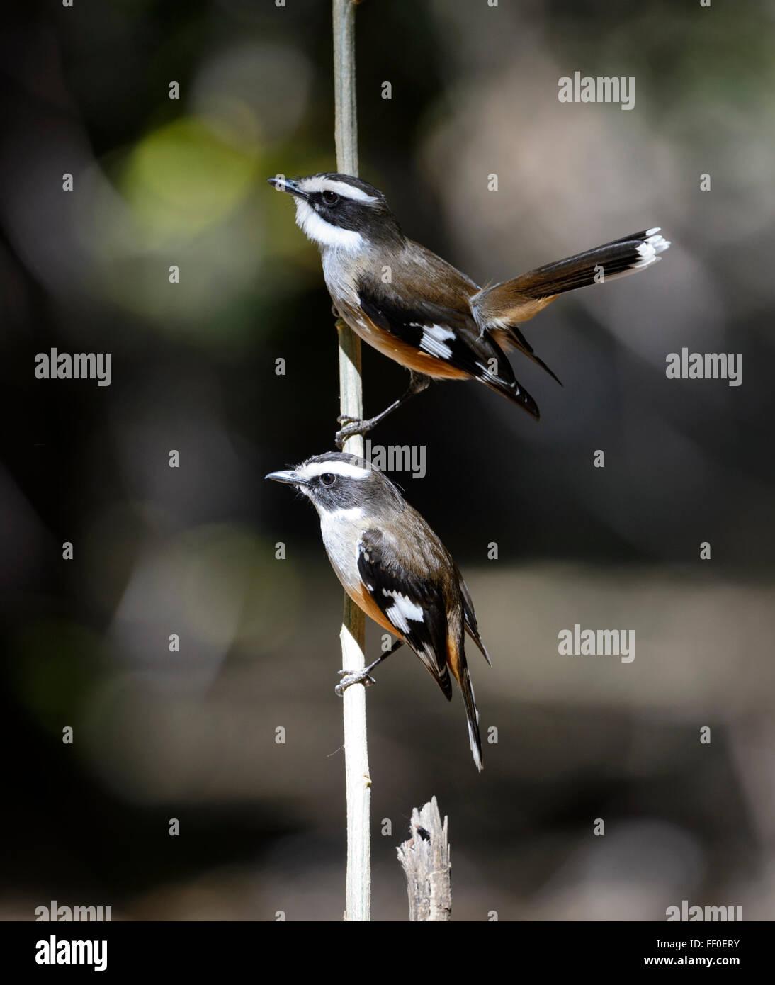 White-browed Robins (Poecilodryas superciliosa), Lawn Hill, Queensland, Australia - Stock Image