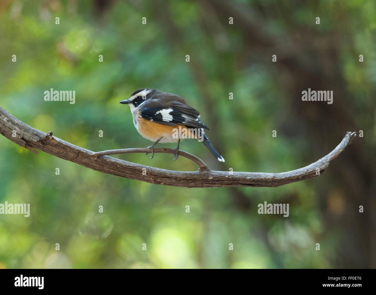 White-browed Robin (Poecilodryas superciliosa), Lawn Hill, Queensland, Australia - Stock Image