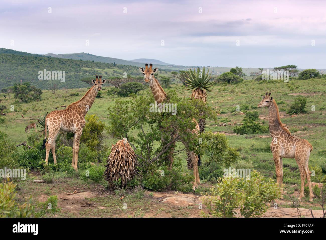 Cape Giraffe Giraffa camelopardalis group feeding - Stock Image
