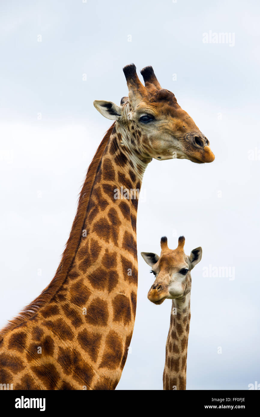 Cape Giraffes Giraffa camelopardalis group feeding - Stock Image