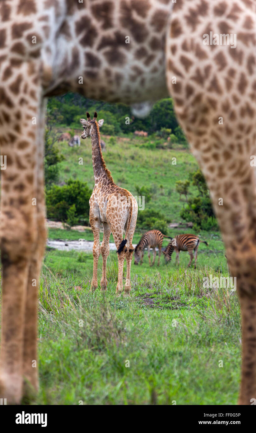 Young Cape Giraffe Giraffa camelopardalis through the legs of adult Stock Photo
