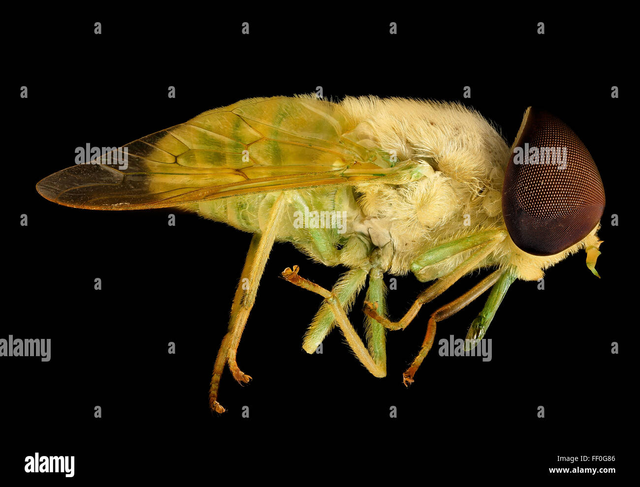 Chlorotabanus crepuscularis, Green horse fly, Duck, NC 2016-01-07-1451 - Stock Image