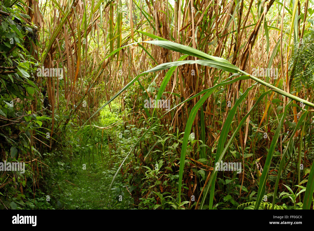 A trail through the jungle thickly overgrown with plants and bushes. - Stock Image