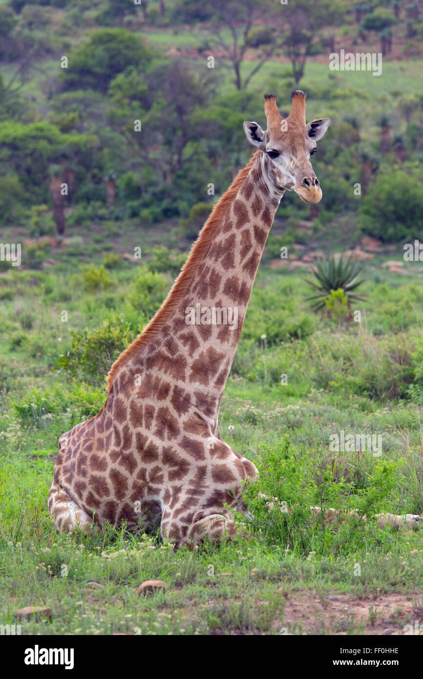 Cape Giraffe Giraffa camelopardalis young animal resting - Stock Image