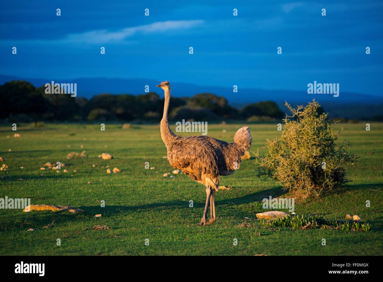 African ostrich (Struthio camelus), De Hoop Nature Reserve, UNESCO World Heritage Site, Garden Route, Western Cape, - Stock Image