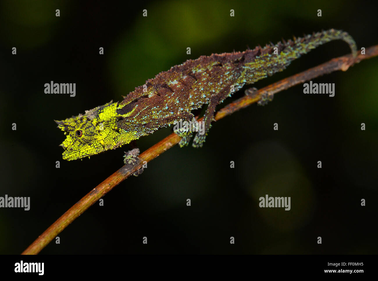 Brookesia vadoni (Brookesia vadoni), male chameleon, rainforest, Marojejy National Park, northeastern Madagascar, - Stock Image