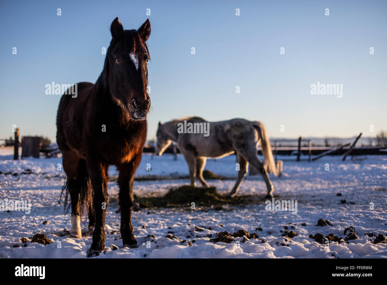 Wild American Mustangs feed in a corral during the winter after having been adopted from the US Bureau of Land Management - Stock Image